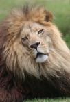 Lion_Cameron6