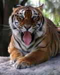 Tiger_Bengali
